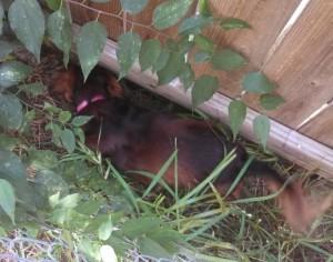 Sadie between fences