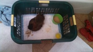 chick in basket